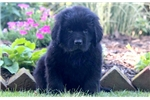 Gino - Newfoundland Male | Puppy at 11 weeks of age for sale