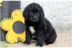 Picture of Shadow - Newfoundland Male