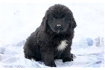 Sheena - Newfoundland Female | Puppy at 9 weeks of age for sale