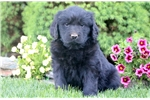 Picture of Cherry - Newfoundland Female