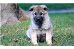 Picture of Duke - Norwegian Elkhound Male