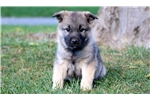 Picture of Devin - Norwegian Elkhound Male