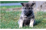Picture of Daisy - Norwegian Elkhound Female