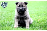 Picture of Sebastian - Norwegian Elkhound Male