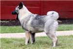 Picture of Starburst - Norwegian Elkhound Female