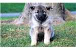 Picture of Dodger - Norwegian Elkhound Male
