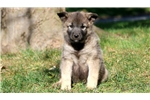 Picture of Dash - Norwegian Elkhound Male