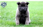 Picture of Stewy - Norwegian Elkhound Male
