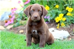 Picture of Hope - Chocolate Lab Female