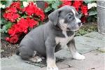 Picture of Butch - Olde English Bulldogge Male