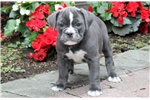 Olde English Bulldogge for sale