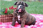 Picture of Chuckie - Olde English Bulldogge Male