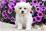 Picture of Fairy - Peke-A-Chon Female