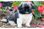 Picture of Anchor - Pekingese Male