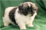 Picture of Willis - Pekingese Male