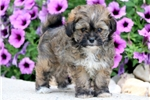 Picture of Fifi - Peke-A-Chon Female