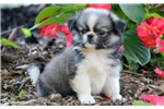 Ariel - Pekingese Female | Puppy at 10 weeks of age for sale