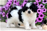 Picture of Flower - Peke-A-Chon Female