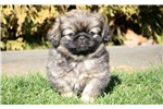 Picture of Scooter - Pekingese Male