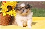 Picture of Pickle - Pekingese Male