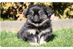 Picture of Scout - Pekingese Male