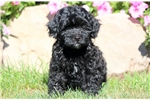 Posh - Pomapoo Female | Puppy at 8 weeks of age for sale
