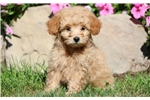 Picture of Princess - Pomapoo Female