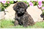 Picture of Petey - Pomapoo Male