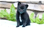 Picture of Shadow - Pomchi Female