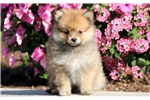Picture of Clairabell - Pomeranian Female
