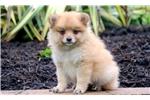 Picture of Leo - Pomeranian Male