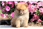 Picture of Cupcake - Pomeranian Female
