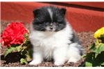 Picture of Buffy - Pomeranian Female