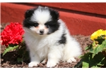 Picture of Buttercup - Pomeranian Female