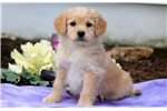 Picture of Starla - Poodle Mix Female
