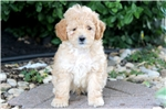 Picture of Gizmo - Mini Poodle Male