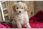Picture of Chipper- Mini Poodle/Cavachon Mix Male