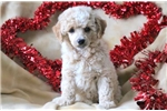 Picture of Lover Boy - Mini Poodle Male