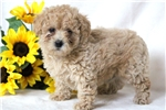 Picture of Prince - Mini Poodle Male
