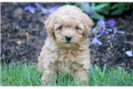 Hillary - Mini Poodle Female | Puppy at 10 weeks of age for sale