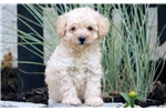 Picture of Holly - Mini Poodle Female