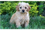 Picture of Baby - Mini Poodle Mix Female