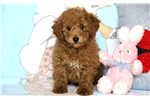 Picture of Sylvester - Mini Poodle Male