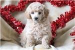 Picture of Lewie - Mini Poodle Male