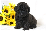 Picture of Popeye - Mini Poodle Male