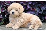 Picture of Elmo - Mini Poodle Male