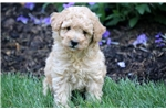 Hero - Mini Poodle Male | Puppy at 10 weeks of age for sale