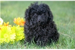 Rebel - Mini Poodle Male | Puppy at 10 weeks of age for sale