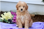 Picture of Special - Poodle Mix Female