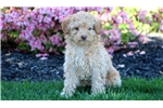 Summer - Mini Poodle Female | Puppy at 10 weeks of age for sale
